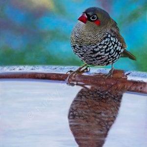 Red-eared Firetail Finch